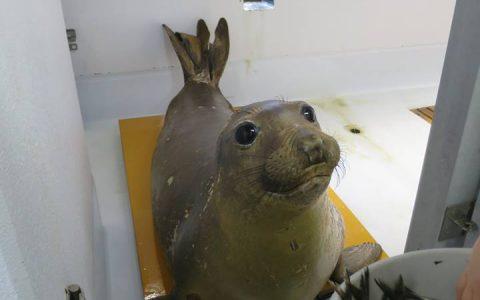 【鶴岡市】漂着のキタゾウアザラシ、加茂水族館が保護継続決定
