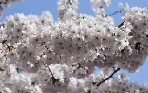 【青森市】GWは青森春まつり&なみおか桜まつりへ
