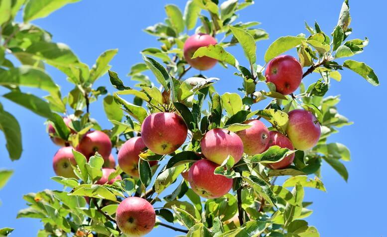 りんご 青森県の日本一!都道府県別ランキング