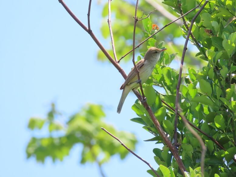 青森県八戸市 三陸ジオパーク みちのく潮風トレイル 野鳥 オオヨシキリ