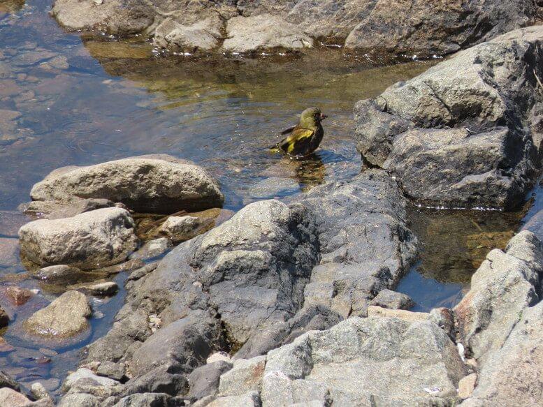 青森県八戸市 三陸ジオパーク みちのく潮風トレイル 野鳥 カワラヒワ